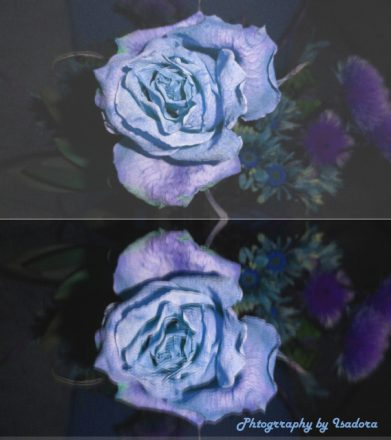 Blue Rose - signed  (568x640) copy