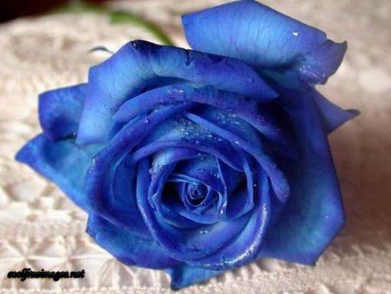 Rose - Blue