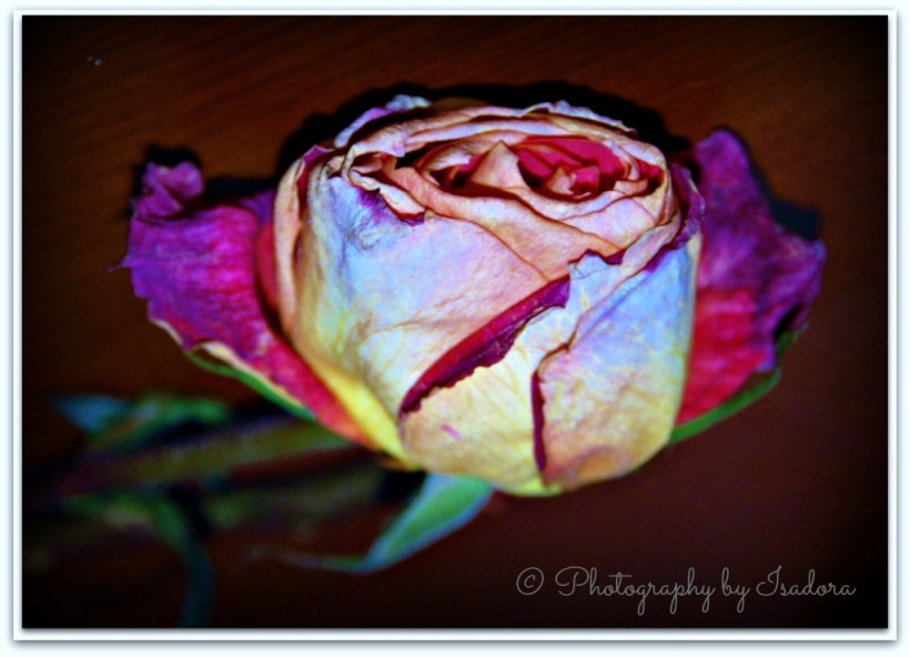 Rose Wilted.web