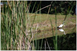 Egret on Lake bank.web
