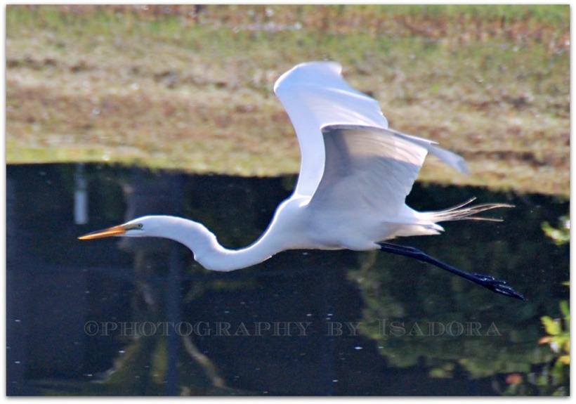 Flying Egret I.web
