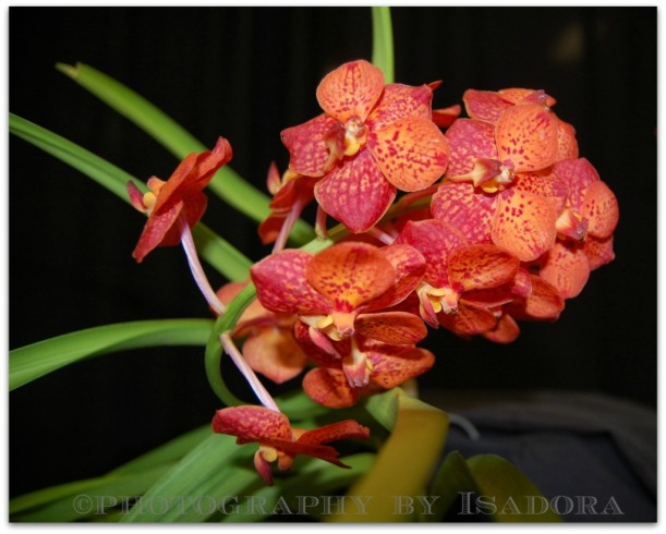 Orange Orchid - close-up.web