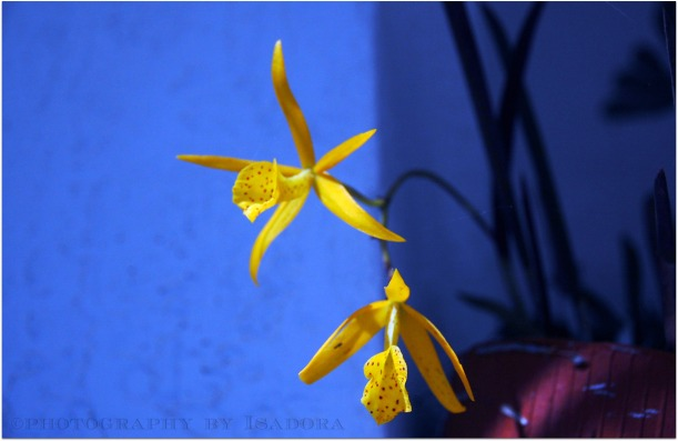 Yellow Orchid.web