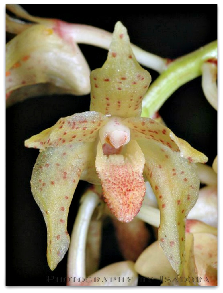 xylobiumleontoglossum.web