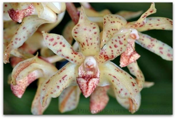 xylobiumleontoglossum2.web