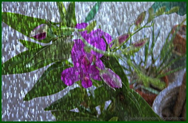 Orchids pink with rain.web