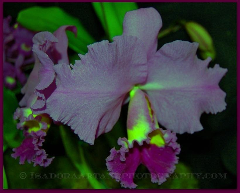 Purple Corsage orchid.web