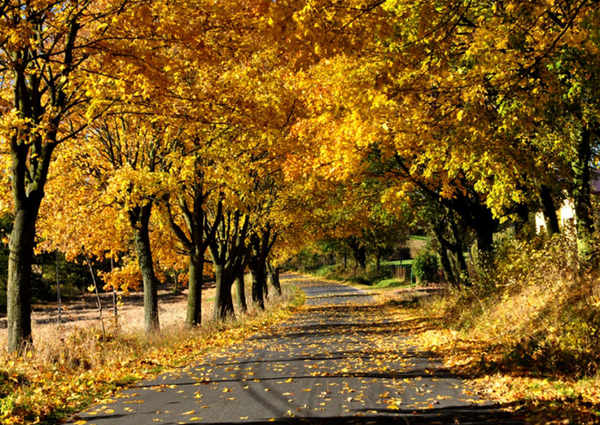 Autumn Leaves - yellow