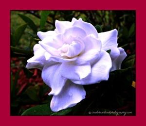 Gardenia 2a.web copy