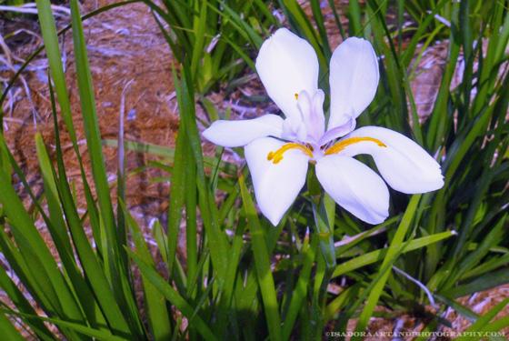 Flower-purple-original-2a.web