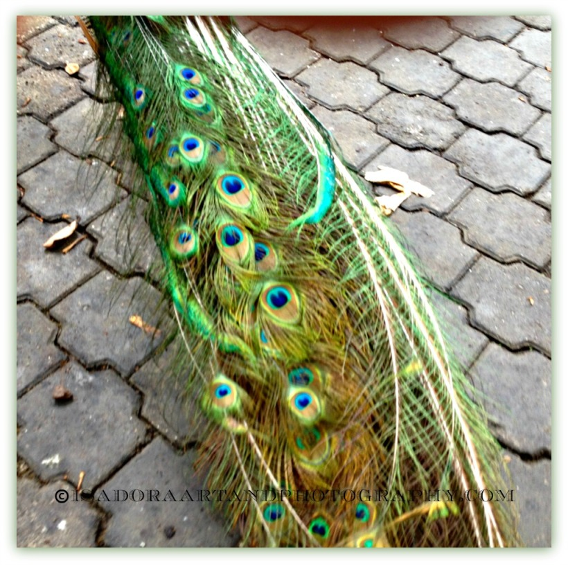 Bird Peacock 3.web