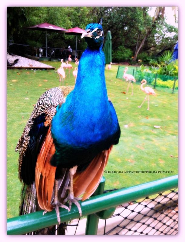 Bird Peacock.web