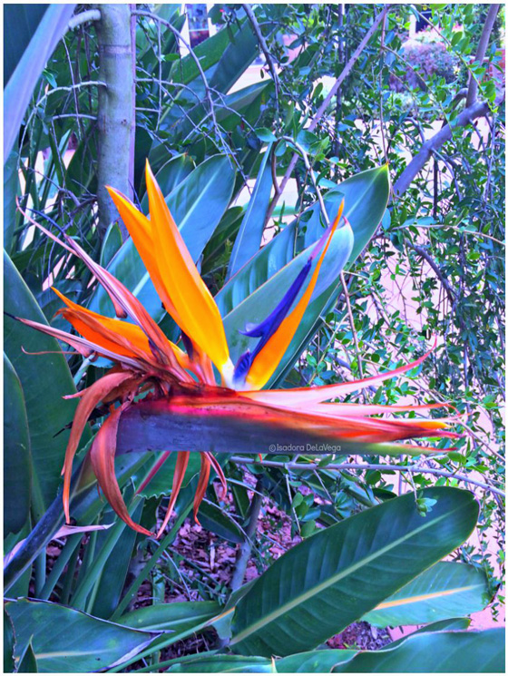 Flower-Bird-of-Paradise-B.web