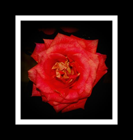 Flower 485 Rose 6 frame.web