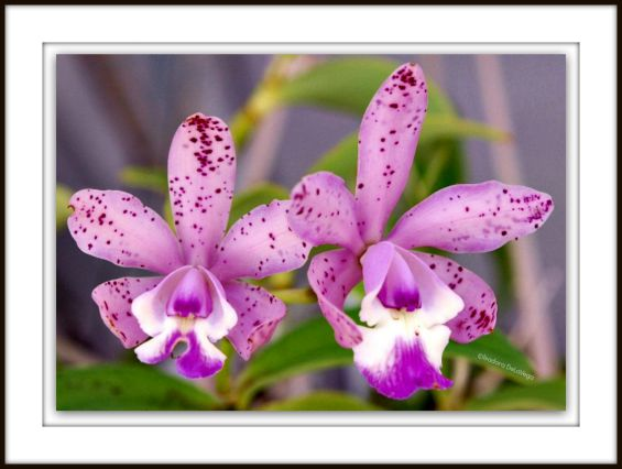 Flowers F-Pink Orchids.web