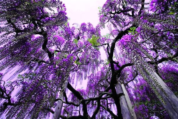 Flowers - Waterfall of Purple.web