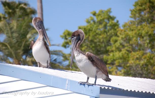 Pelicans---Just-Hangin'