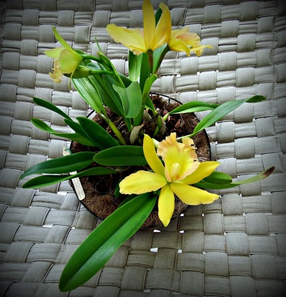 flower-ps3-yellow-orchid-9_2016_web_jpg