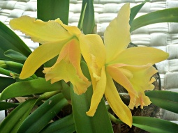 flower-yellow-orchid-ps9_2016-web
