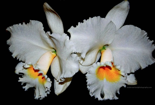 flower-double-white-orchid-web